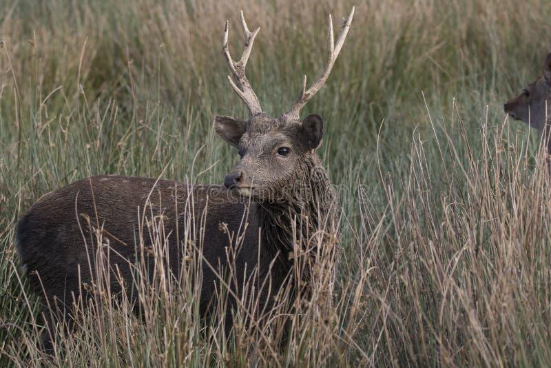 Sika hjortar, fullvuxen hankronhjort, hind, kalvstående medan i långt gräs arkivfoton