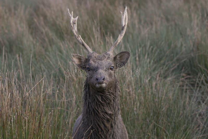 Sika hjortar, fullvuxen hankronhjort, hind, kalvstående medan i långt gräs royaltyfria bilder