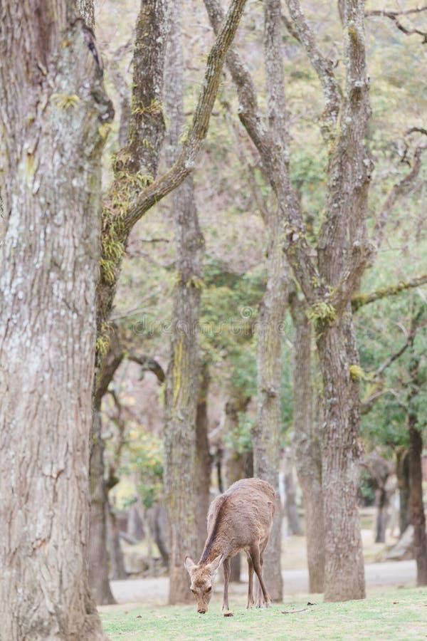 Sika hjortar parkerar in i Nara Japan arkivbild