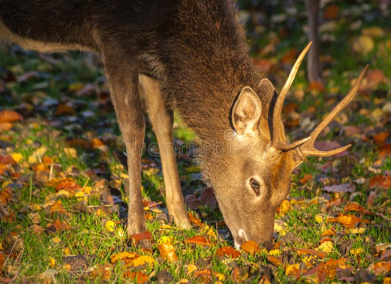 Sika Jeleni jeleń - Cervus Nippon obraz stock