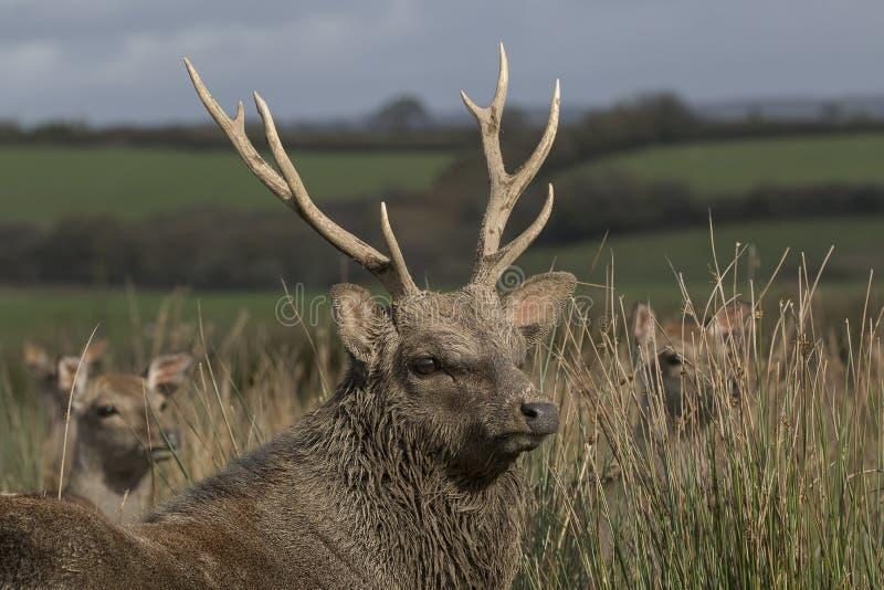 Sika rogacz, jeleń, łania, łydkowy portret podczas gdy w długiej trawie obraz stock