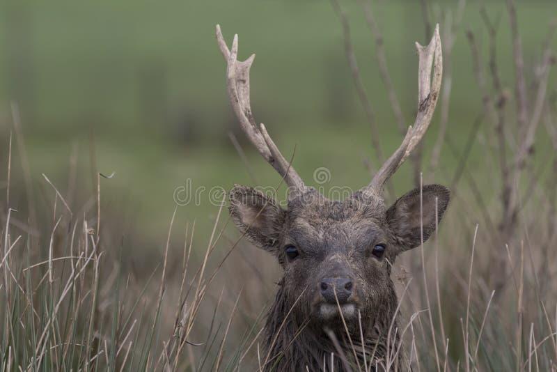Sika rogacz, jeleń, łania, łydkowy portret podczas gdy w długiej trawie zdjęcie royalty free
