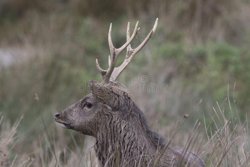Sika rogacz, jeleń, łania, łydkowy portret podczas gdy w długiej trawie zdjęcie stock