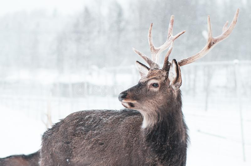 Sika spotted deer Macro portrait, in the snow on a white royalty free stock photography