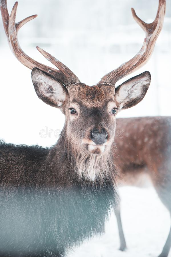 Sika spotted deer Macro portrait, in the snow on a white stock photography