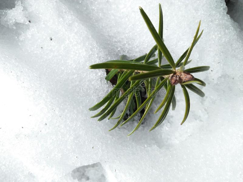 green beauty on snow royalty free stock image