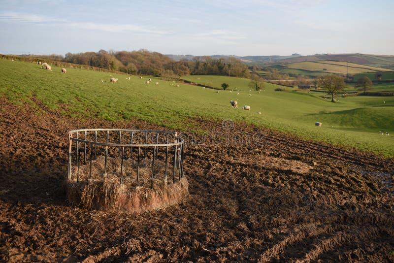 Sikt över ett fält av får med deras nyfödda lamm i Devon, UK, med en cirkelförlagematare i förgrunden arkivfoton