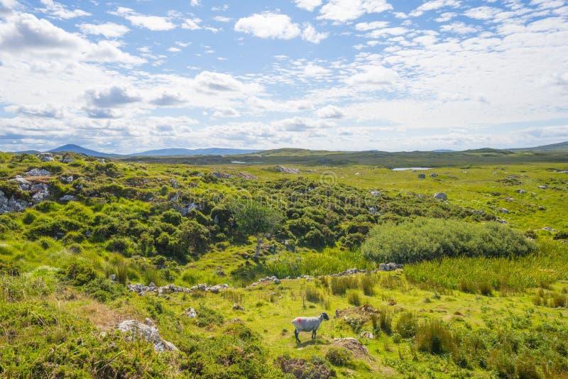 Sikt av ängarna, sjöarna och bergen av regionen Connemara i Irland royaltyfri fotografi
