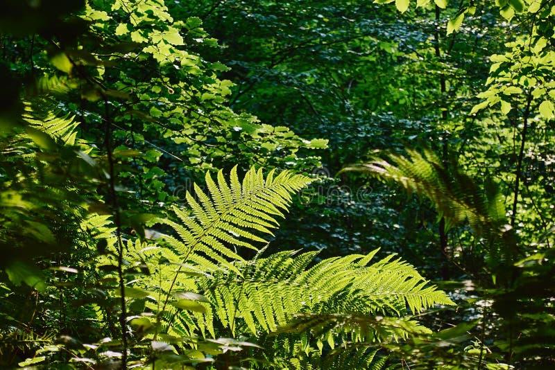 Sikt av de nya gröna sidorna av ormbunken som är upplysta vid solljus royaltyfri foto