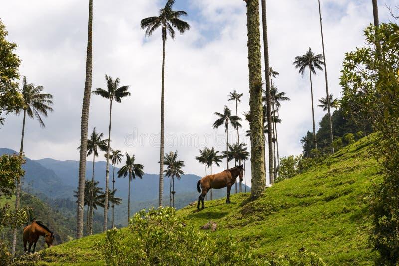 Sikt av den Cocora dalen Valle del Cocora i Colombia med vaxpalmträd och hästar royaltyfria foton