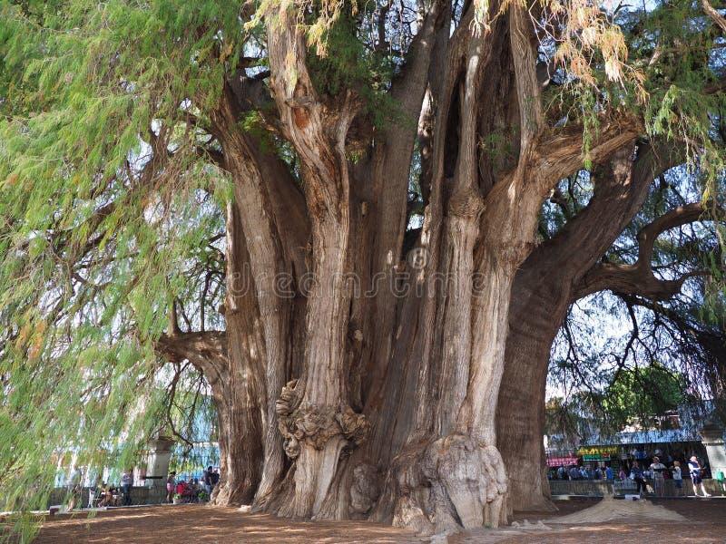 Sikt av den mest stoutest stammen av världen av det monumentala Montezuma cypressträdet på den Santa Maria del Tule staden i Mexi arkivfoton