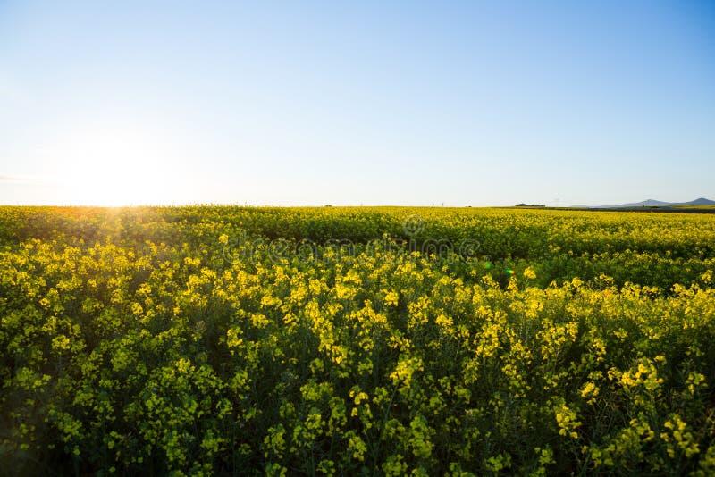 Download Sikt Av Det Härliga Senapsgula Fältet Fotografering för Bildbyråer - Bild av blomma, glädje: 78725871