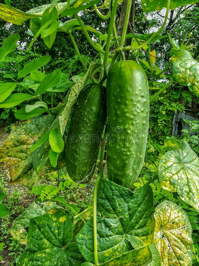 Sikt av det växande fältet för gurka från inre arkivbilder