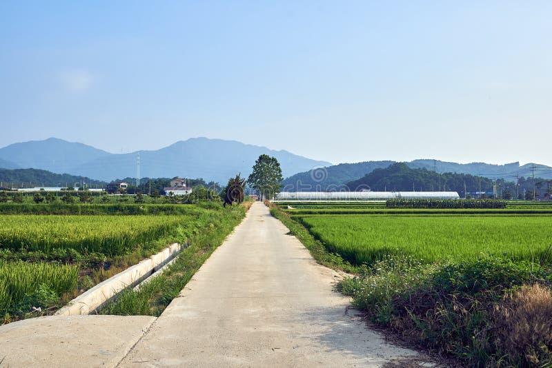 Sikt av en fridsam bygd med fält som frodas med gröna skördar och stora trädet som är närliggande i Jechun, Sydkorea arkivfoton