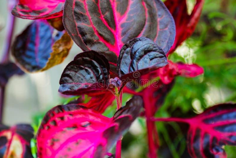 Sikt av en härlig växt med ljusa röda stammar och sidor royaltyfri fotografi