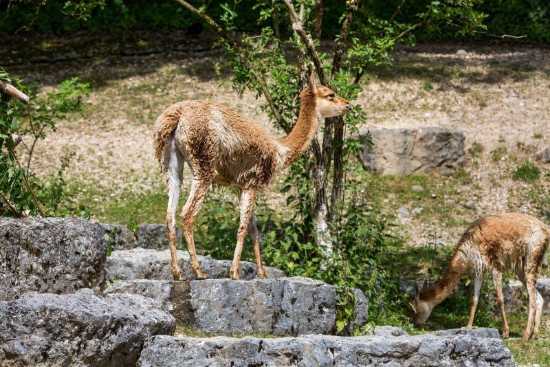 Sikt av en Lama Vicugna i en zooträdgård arkivfoto