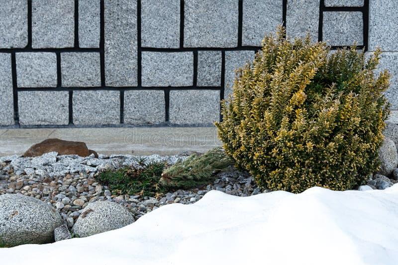 Sikt av en rund buske av den japanska euonymusen mot bakgrunden av en husvägg och en snödriva royaltyfri fotografi
