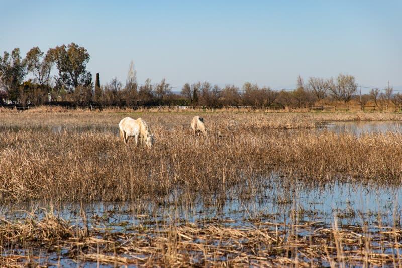 Sikt av en vit häst som betar i ett torrt fält arkivbild