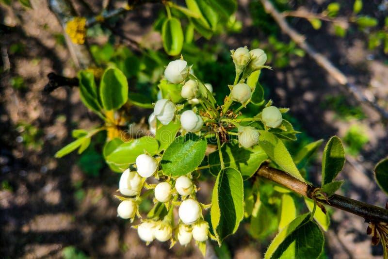 Sikt av ett blomma träd, körsbär, ut ur fokus, naturbakgrund arkivbild
