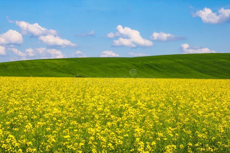 Sikt av ett gult rapsfröfält, gröna kullar och en blå himmel med vita moln arkivbilder