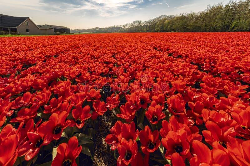 Sikt av ett typisk holländskt kulafält med röda tulpan, i bakgrunden en klar himmel med lantgårdar och träd royaltyfria foton