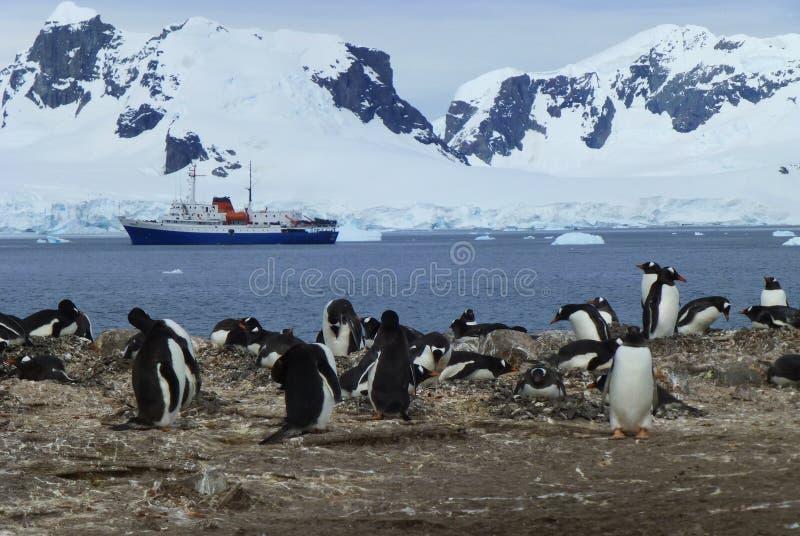 Sikt av gentoopingvinkolonin i Antarktis arkivfoton