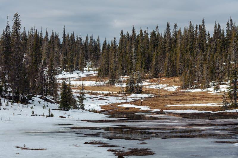 Sikt av granskogen i vårtid Taiga landskap i den ryska norden arkivbilder