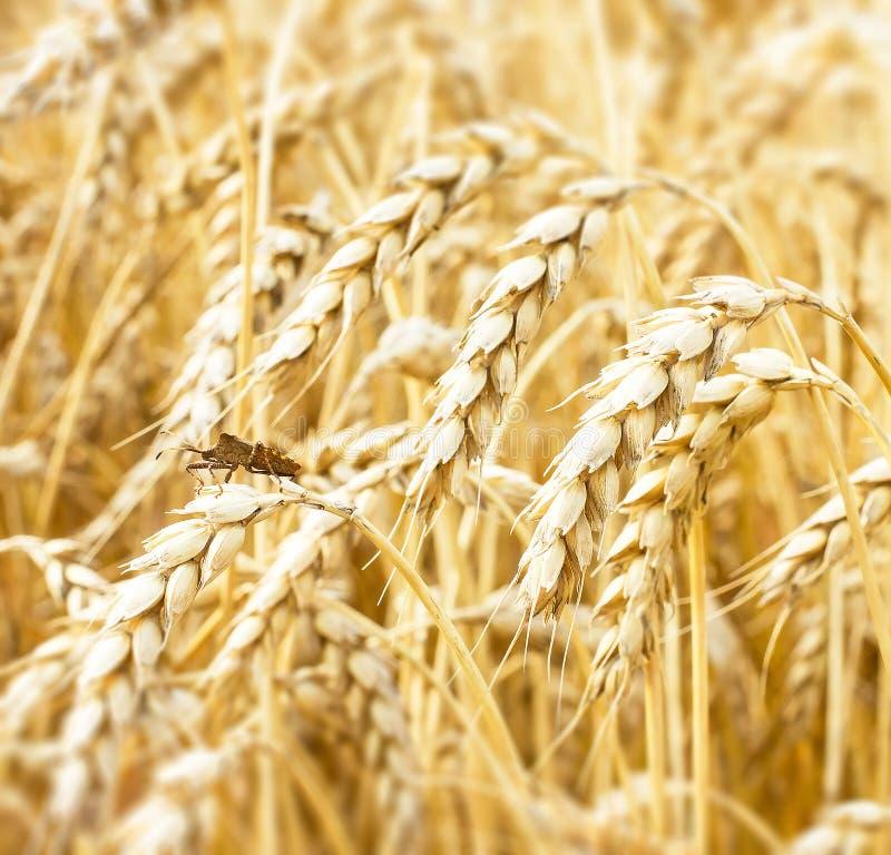 Sikt av guld- öron av veteslutet upp på skördtid tät gräshoppa upp Åkerbruk lantlig bakgrund arkivfoto