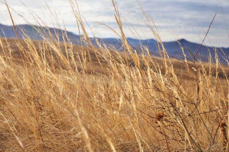 Sikt av gult höstgräs med ett grunt djup av fältet med försiktig kullebakgrund royaltyfri fotografi
