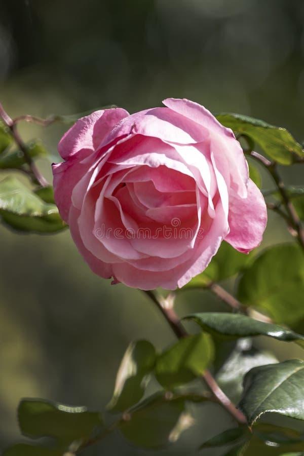 Sikt av huvudet av en rosa rosa blomma på en suddig bakgrund royaltyfri fotografi