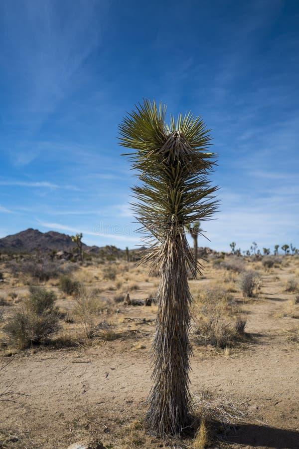 Sikt av Joshua Tree National Park Parkera är en amerikansk nationalpark i sydöstliga Kalifornien arkivfoto