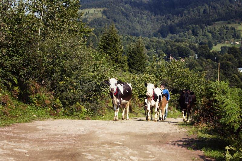 Sikt av kor och herden på en väg royaltyfri foto