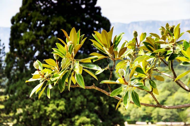 Sikt av magnoliaträdet över blured bakgrund royaltyfria foton
