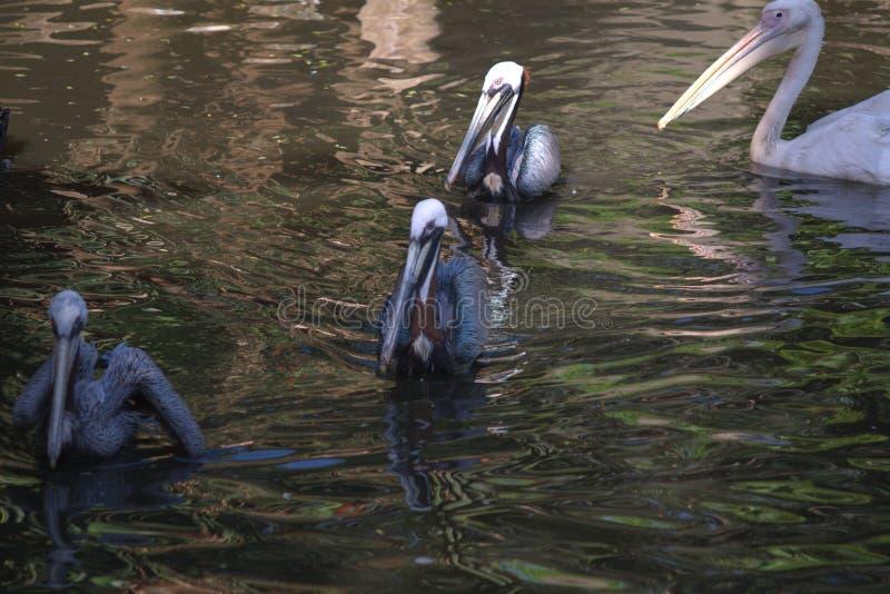 Sikt av pelikan som simmar i linjen, Cape Town fotografering för bildbyråer