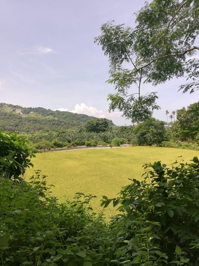 Sikt av risfältet och berg arkivfoto