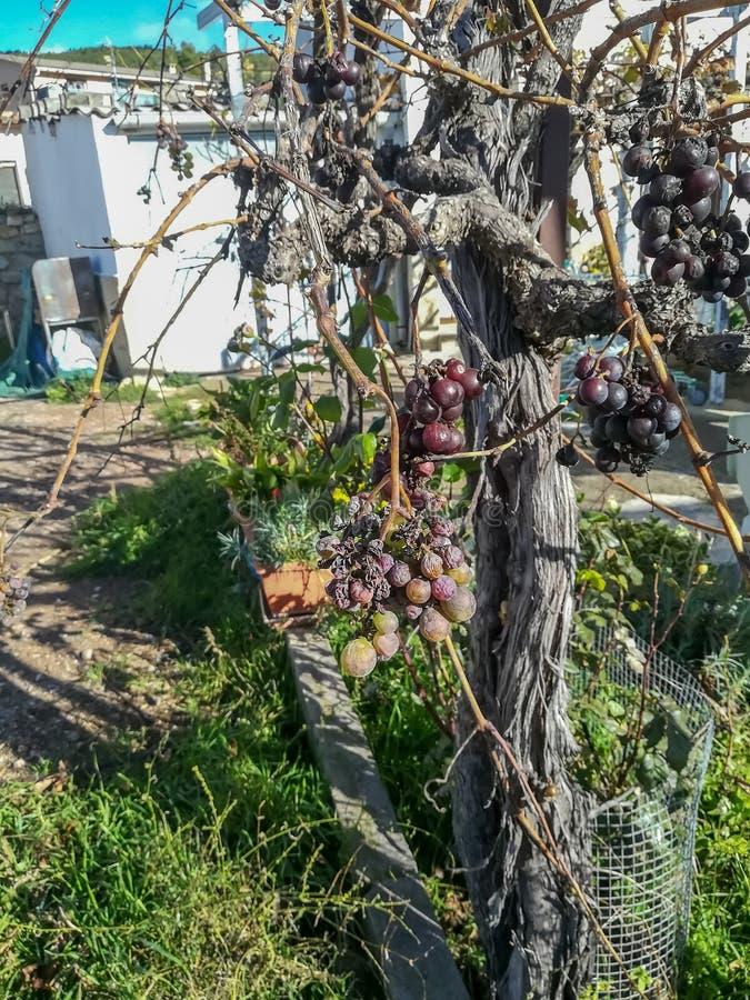 Sikt av trädet av druvor med frukter royaltyfri fotografi