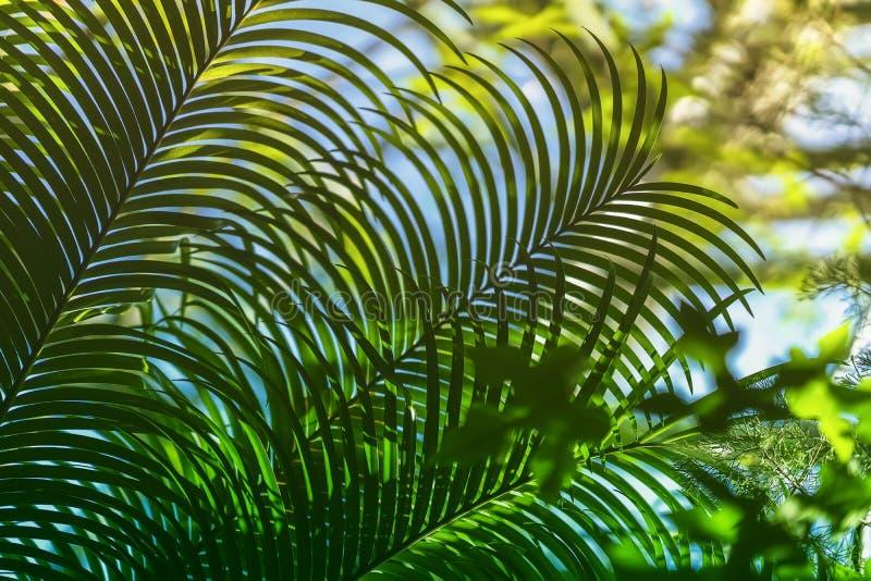 Sikt av undertropiska filialer för en datumpalmträd med naturligt ljus Abstrakt textur, naturlig exotisk djungelgräsplan arkivbild