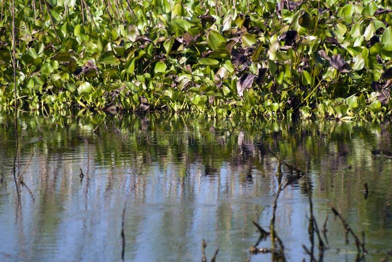 Sikt av vatten- växter i preken som är toal av våtmarker arkivbilder