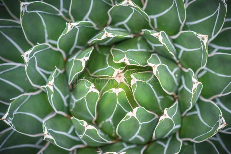 Sikt för closeup för AgaveVictoria-reginae kaktus royaltyfri foto