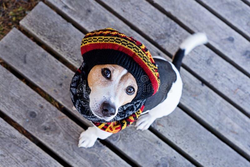 Sikt för hög vinkel av hunden som bär i stucken basker royaltyfri fotografi