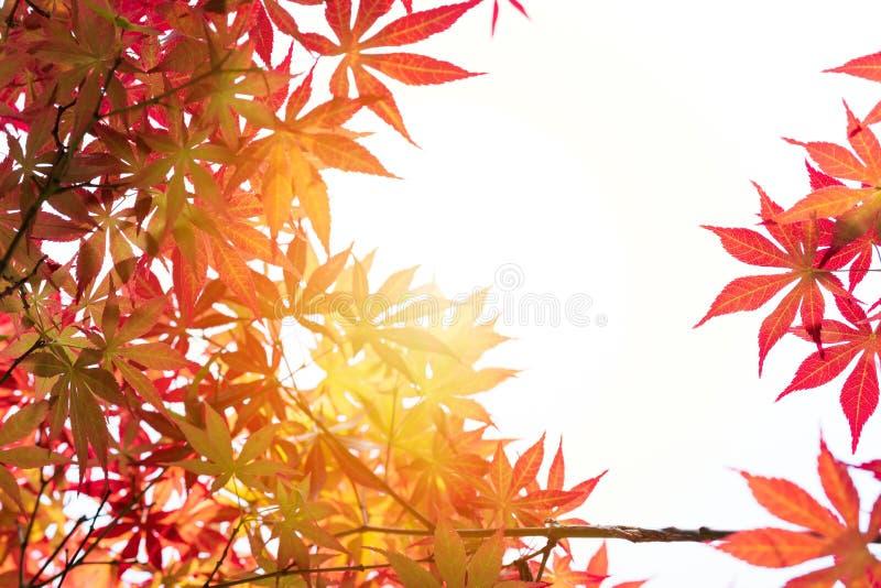 Sikt för låg vinkel av det röda lönnlövträdet, bakgrunder och texturbegreppet arkivbilder