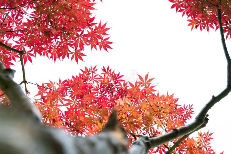 Sikt för låg vinkel av det röda lönnlövträdet, bakgrunder och texturbegreppet arkivfoton