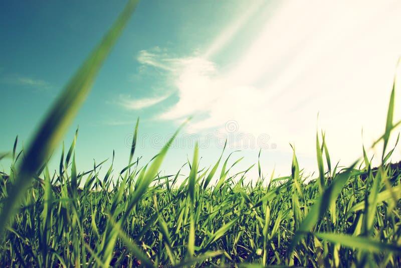 Sikt för låg vinkel av nytt gräs mot blå himmel med moln royaltyfria bilder