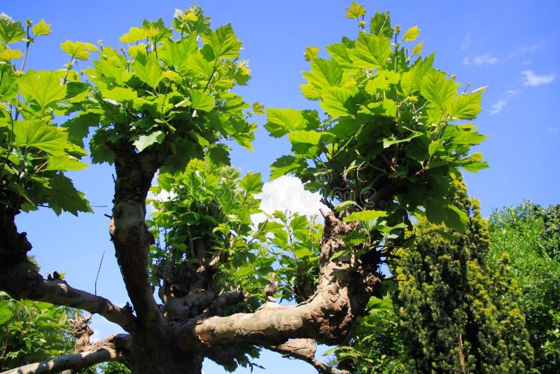 Sikt för låg vinkel på isolerad filial med gröna sidor av det plana sykomorträdet mot blå himmel royaltyfri foto