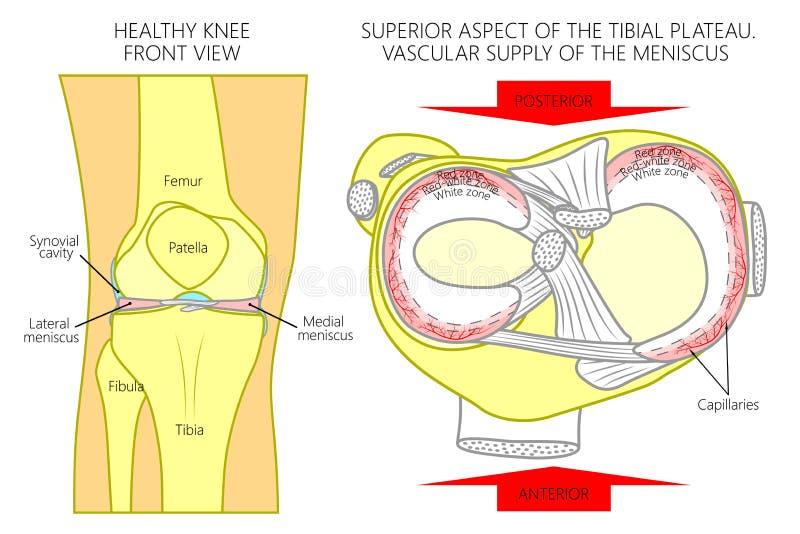 Sikt för menisk_Bloodsupply_Superior stock illustrationer