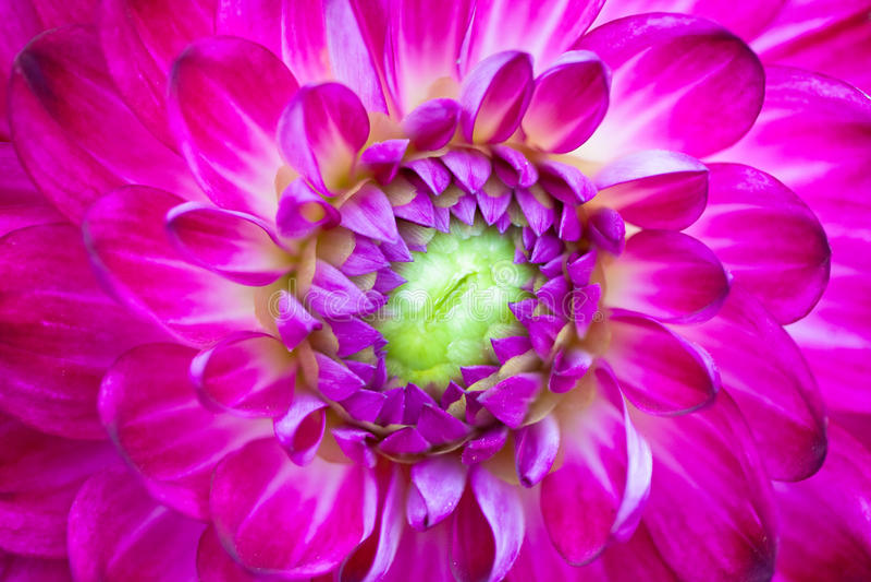 sikt för pink för dahliablommamakro arkivfoto