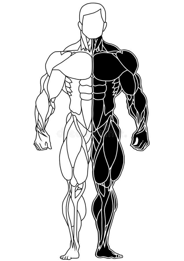 Sikt för skelett- kroppsbyggare för muskel främre royaltyfri illustrationer
