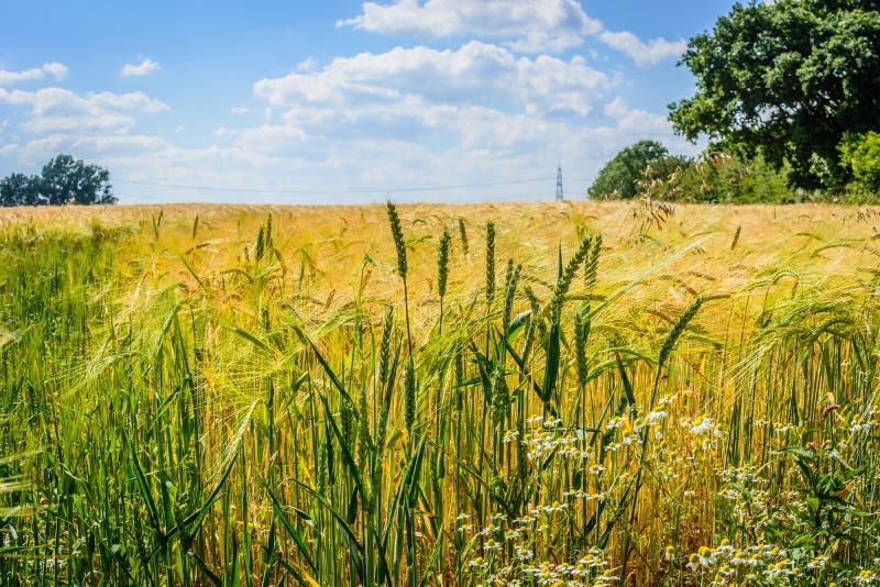 sikt för sommar för vinkelfältgräs wide royaltyfria foton