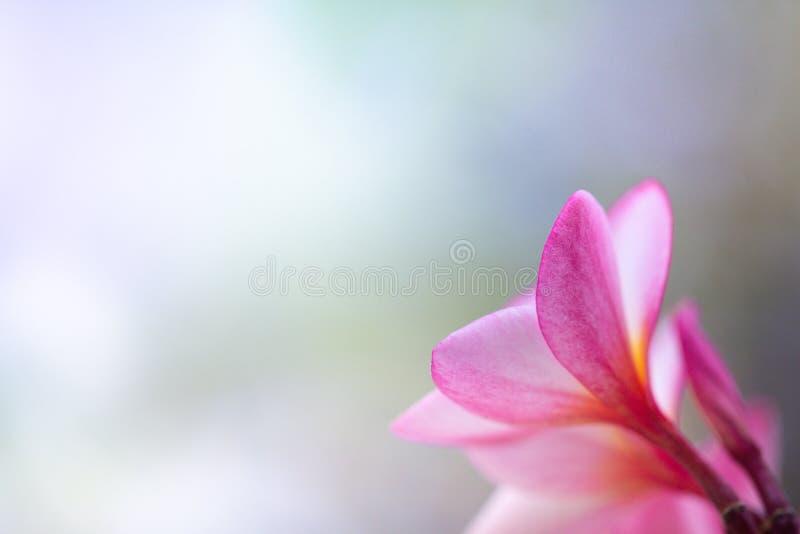 Sikt för tillbaka sida för Closeup av den rosa blomman på suddig bakgrund royaltyfria bilder