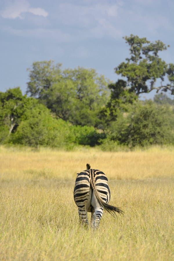 Sikt för vanlig sebra för singel som bakre går i savannahgrässlätt arkivfoto